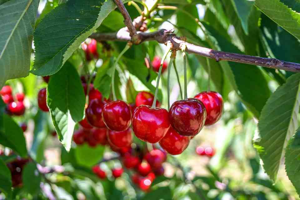 """""""The Cherry Orchard"""" As a Tragedy   In Aristotelian Concept"""